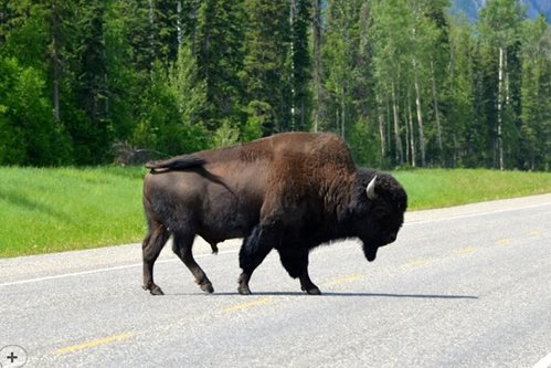 Buffalo-Crossing-the-road